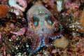 Close 2cm large Sepiola atlantica