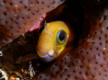 LyreTail Combtooth Blenny Lyre-Tail Lyre Tail
