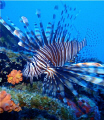 Lion Fish wreck off St Marten. These are indigenous South Pacific but real problem Carribbean having no known predators. This was caught dissected marine biologists days later. Marten predators later