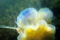 Giant jellyfish catch two blue
