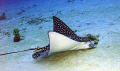 Eagle Ray feeding early morning hours Bari Reef hours-