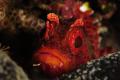 Largescaled Scorpionfish. Scorpionfish
