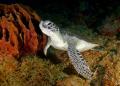Green Sea Turtle Fliendly Clos Aguadilla PR