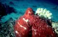 Octopus Aqaba Bay Red Sea