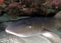 Nurse Shark Andreas Reef Guanica Puerto Rico