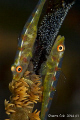 Two Whip gobies process laying eggs. eggs
