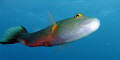This bandcheek wrasse followed me long time check top toe. He looked straight my mask. believe never had seen Norwegian diver before toe mask