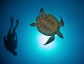 Turtle diver. diver