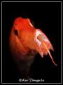 Trumpetfish Lembeh Indonesia