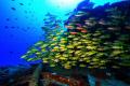 Top deck Cardinal fish Mauritius shipwreck Canon EOS 7D