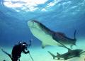 tiger shark posing UW photographer