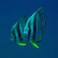 This Mirror effect friendly curious Batfish couple Taken Perhentian Islands Malaysia Secret Wreck alias Fish Heaven Dive site. site