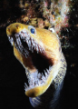 Fangtooth moray eel night dive