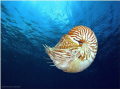 Nautilus belauensis also known Palau