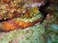 Close oktopus sleeping. Punta Salinas Estartitspain. sleeping Estartit/spain. Estartit/spain Estartit spain.