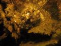 little scorpion fish Zeeland. Scharendijke Netherlands Zeeland