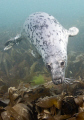 curious Grey Seal off Lundy Island