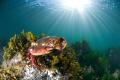 Red Rock Crab getting some sunSeattle WA U.S.A. USA