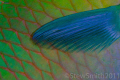 Abstract. Parrot fish scales pectoral fin Abstract