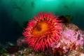 Rose AnemonePuget Sound WA U.S.A. USA