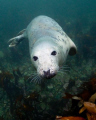 seal taken Farne Islands North sea east england. england