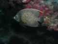 French Anglefish taken August 2011 Molasses Reef off Key Largo Florida