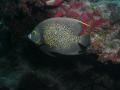 French Anglefish taken August 2011 Molasses Reef off Key Largo Florida