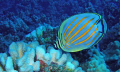 Ornate Butterfly Fish