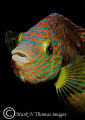 Corkwing wrasse.60mm. wrasse. wrasse 60mm. 60mm