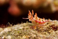 Nudibranch cruising.Lembeh straits.G12 strobefirst photo entered... feedbacks appreciated. cruising. cruising straits. straits entered appreciated