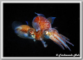 Coupling small cuttlefishs Sepiola sp.. sp.). sp) sp
