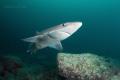Curious shark spiny dogfish