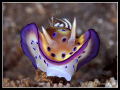 Nudibranch Chromodoris kuneiManado Indonesia