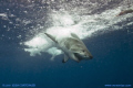 Great White Shark crashes Pacific after full breach. breach