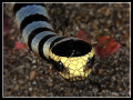 Facing Banded Sea Snake