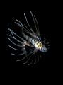 Baby lion fish