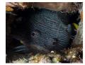 Splendid Toadfish showing its teeth