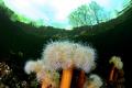 Underworld frilled anemone Metridium senile shallows Oslo fjord Norway towards cold winter sky naked trees shore. shore