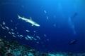 Whitetip Reef Shark watch Divers Bathala Maaga Kan Thila