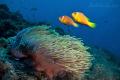 Anemone fish Maldives ClownMusha Mas Mingili Thila Head