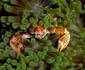Porcelin crab. Enjoy crab