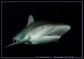 End days dive.... Reef Shark... O... dive Shark :O)... :O)