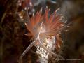 Flabellina lineata
