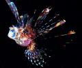 Lionfish... Kulau... East New Britain PNG. Lionfish Kulau PNG