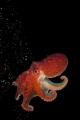 Eledone cihrrosa Curled Octopus some kelp ready take leap go hiding. hiding