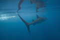 am intrigued amazing reflections whale sharks subsurface. When its calm make point tilting my housing upwards. love partial distortion this one combined swimmer give sense size motion. sub-surface. sub-surface sub surface. upwards motion