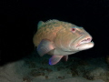 Close encounters Vampire fish. fish