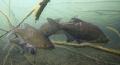 Abramis brama realy shy fishes...Photo Viktor fishes...(Photo fishes(Photo fishes (Photo