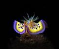 beautiful Nudibranch