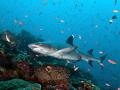 reef shark Komodo